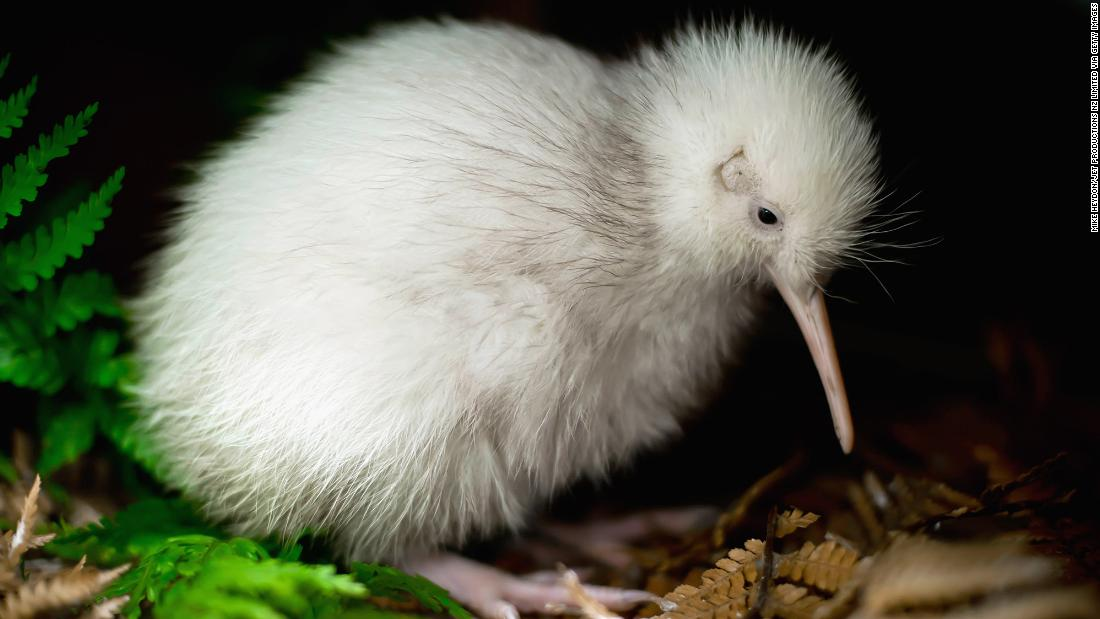 Makura, the only white kiwi bird born in captivity, is dying in New Zealand