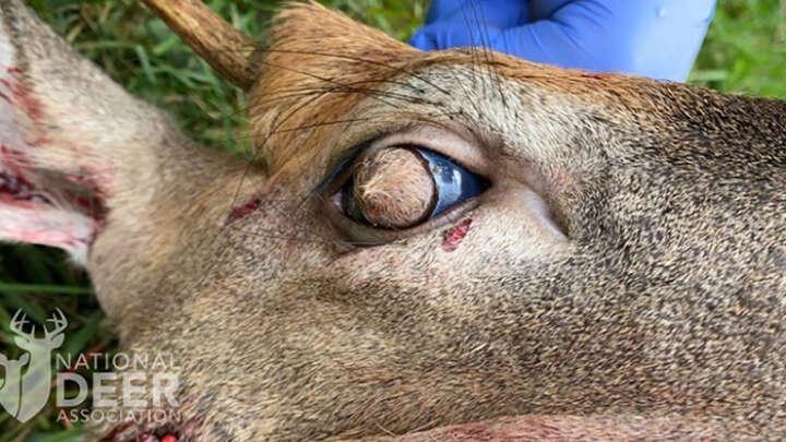 Veados são encontrados com olhos peludos no subúrbio do Tennessee