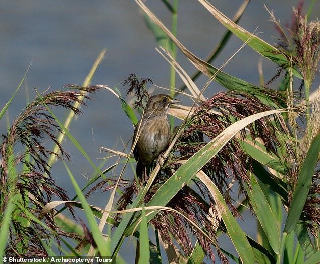 Se as aves limícolas colocam seus ninhos muito alto, seus filhotes ficam vulneráveis a predadores.  Muito baixo e pode transbordar.  As observações de Newsom mostram que os predadores podem vir de direções inesperadas