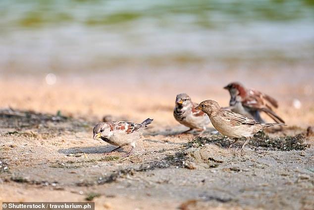 A mudança climática está causando marés altas e inundações no sudeste, ameaçando os locais de nidificação, reprodução e alimentação de MacGillivray