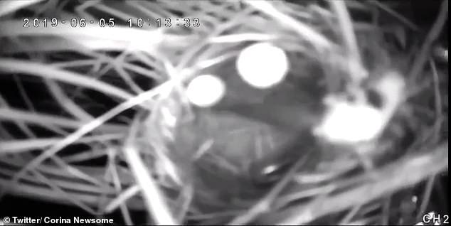 O ninho do pássaro está localizado em um pântano salgado na Geórgia e foi inundado.  Isso deu às múmias oportunistas a chance de penetrar no ninho e preparar uma refeição com o pintinho