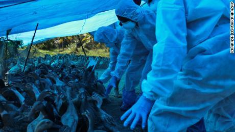 Índia inicia abate em massa de aves em resposta ao surto de gripe aviária