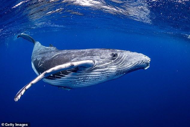 Ossos presos em uma camada de lama refletem as características das baleias modernas - o osso acima da orelha média e o esqueleto do crânio