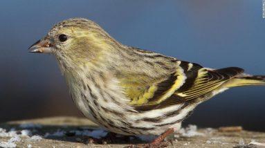 O CDC afirma que a infecção por salmonela em 8 estados pode estar relacionada a pássaros canoros selvagens