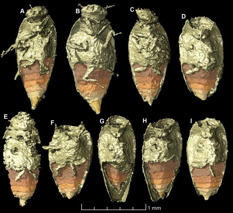 Besouro pequeno Triamyxa Coprolithica