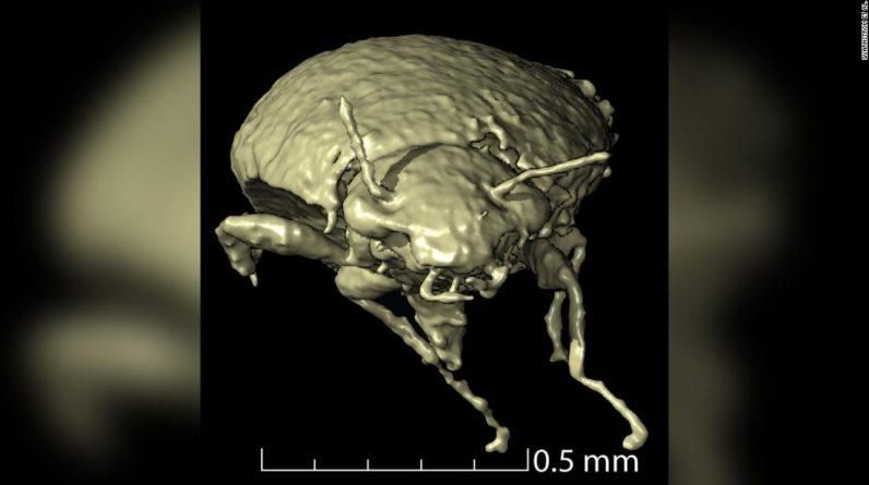 Espécies de besouro recém-descobertas em fezes fossilizadas