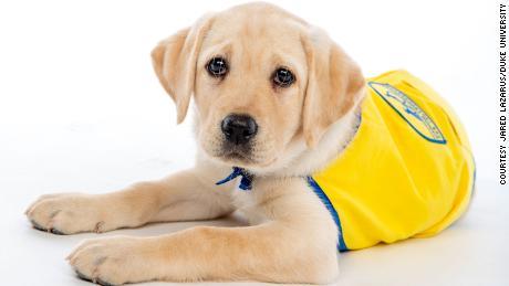 Conheça o Wisdom, um membro do jardim de infância para cachorros da Primavera de 2020 na Duke University.