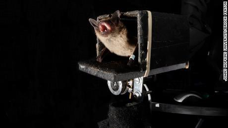Os pesquisadores da Johns Hopkins descobriram que os morcegos podem prever o futuro para perseguir suas presas