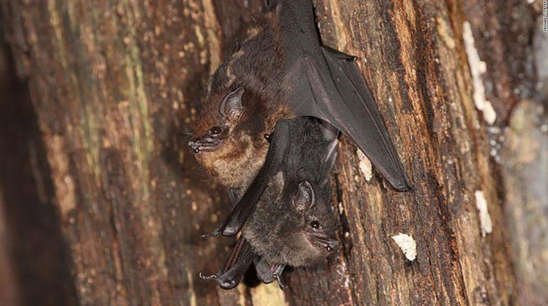 Estudo descobriu que morcegos infantis tagarelam, assim como bebês