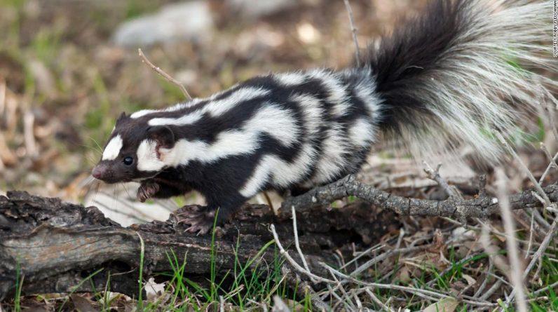 "Diga Olá para Spotted Skunk Highlights, ""Acrobats in the Skunk World"""