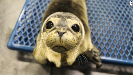 Quando as focas do Maine estão com problemas, você atende